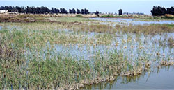 Reedy marsh west of the Suez Canal
